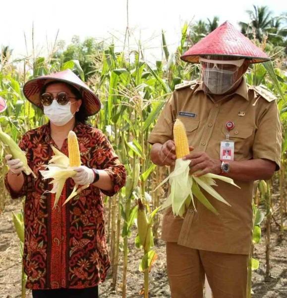 Gubernur Olly dan Ibu saat memanen jagung. (Foto.ist)