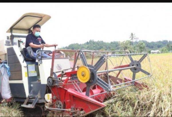 Caption Foto : Gubernur Olly saat panen padi bersama para petani. (Foto.ist)